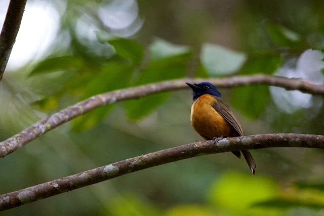 Blue-fronted Flycatcher. Sulawesi.  Photo: Susan Myers
