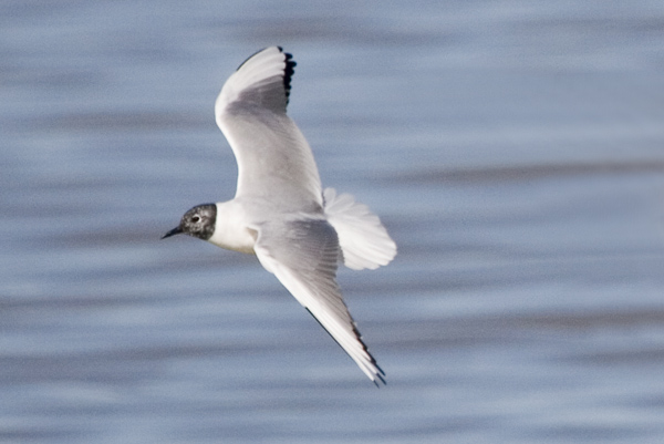 adult Bonaparte's Gull in April, molting into breeding plumage. Photo by Kenn Kaufman.