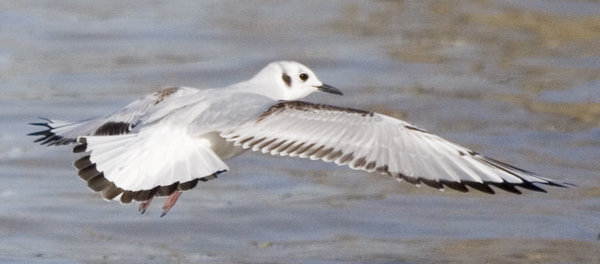 Bonaparte's Gull in first-winter plumage. Photo by Kenn Kaufman.