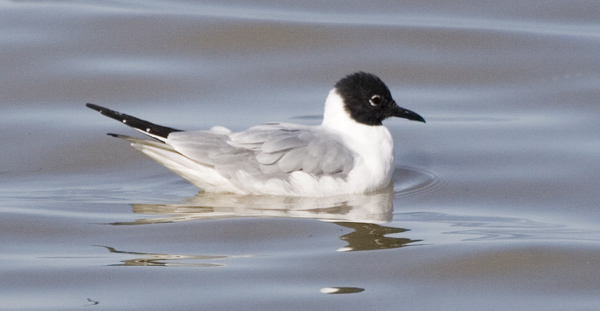 adult Bonaparte's Gull (Chroicocephalus philadelphia) in breeding plumage, in April in Ohio. Photo by Kenn Kaufman.