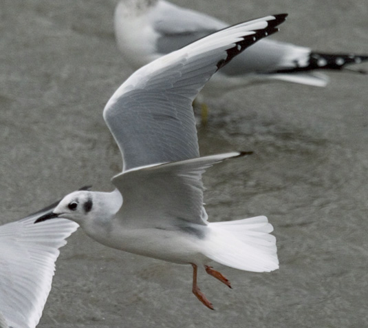 adult Bonaparte's Gull in winter plumage, in Ohio in November. Photo by Kenn Kaufman.