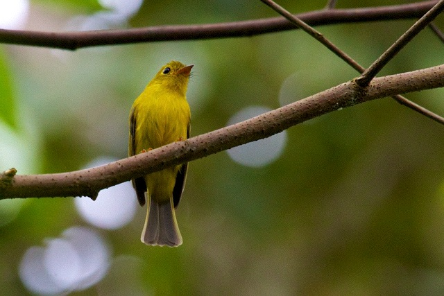 Citrine Canary Flycatcher. Sulawesi. Photo: Susan Myers