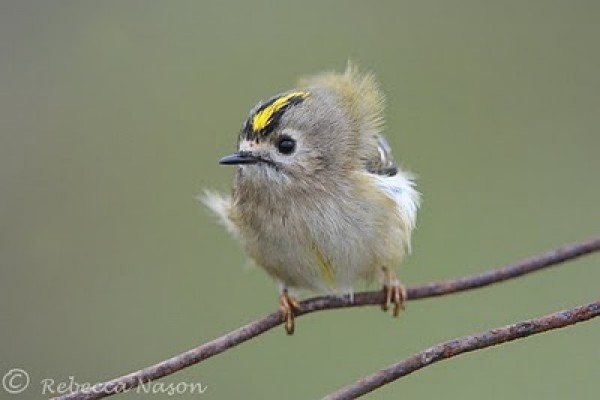 Goldcrest.  Fair Island. Photo:  Rebecca Nason