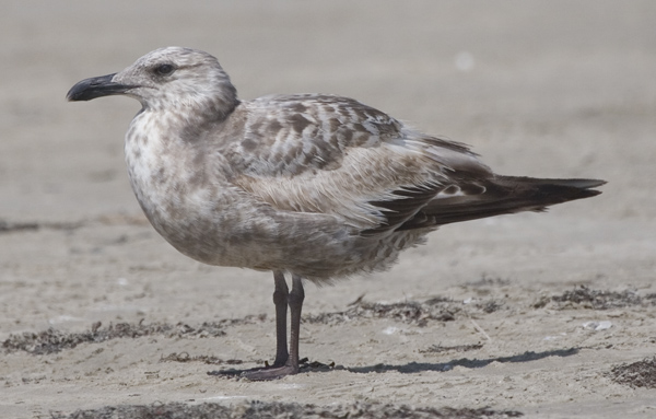 Large Larus gull in very worn first-cycle plumage. Photo by Kenn Kaufman.
