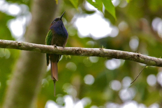 Purple-bearded Bee-eater. Sulawesi.  Photo: Susan Myers