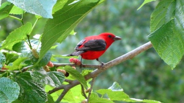 Scarlet tanager.  Boy Scout Woods, High Island Texas. Photo. Dawn Fine