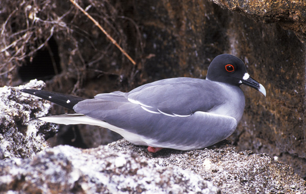 adult Swallow-tailed Gull in the Galapagos Islands in December. Photo by Kenn Kaufman.