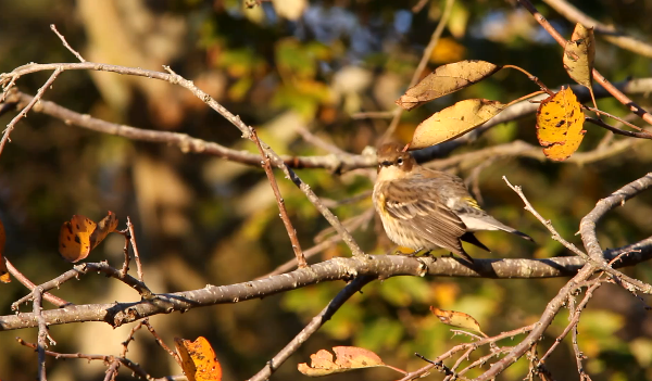 Yellow-rumped Warbler, Berlin, MD. Jeff Gordon