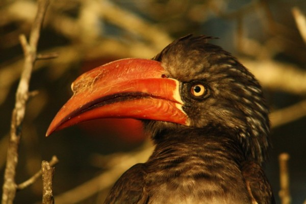 Crowned Hornbill Dale Forbes