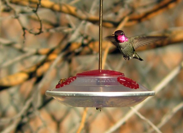Male Anna's Hummingbird shows his colors
