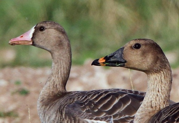 Bean Goose and Pacific White-fronted Goose