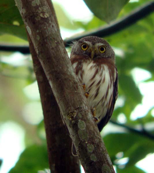Central American Pymgy-Owl, Glaucidium griseiceps
