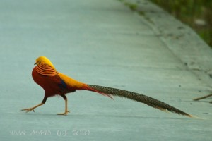 Golden Pheasant @ Sichuan, China