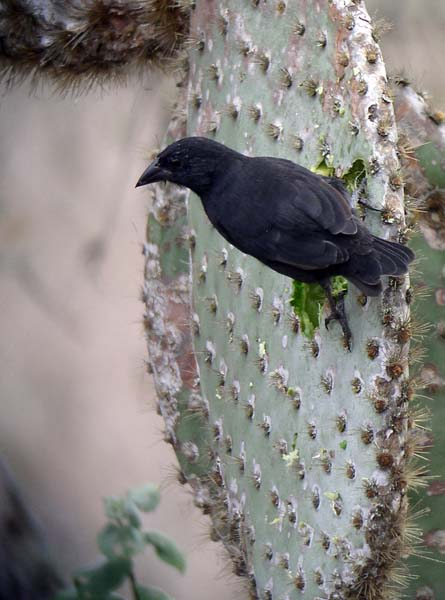 A Common Cactus-Finch gets its moisture from a prickly pear pad.