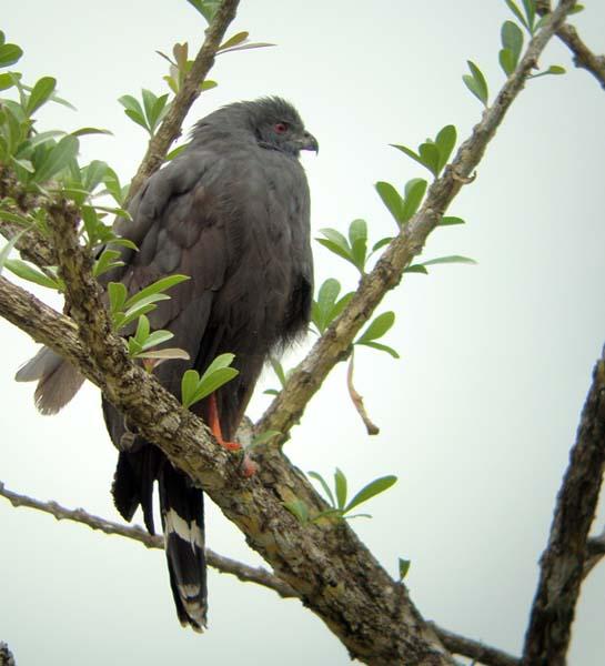 Crane Hawk, Geranospiza caerulescens