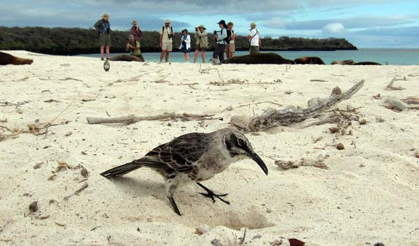 An Espanola Mockingbird digs in the sand while the WINGS group learns about Galapagos Sea Lions