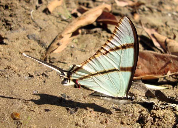 Eurytides salvini, Salvin's Kite Swallowtail