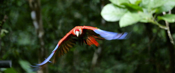 Post image for wild Scarlet Macaw personalities