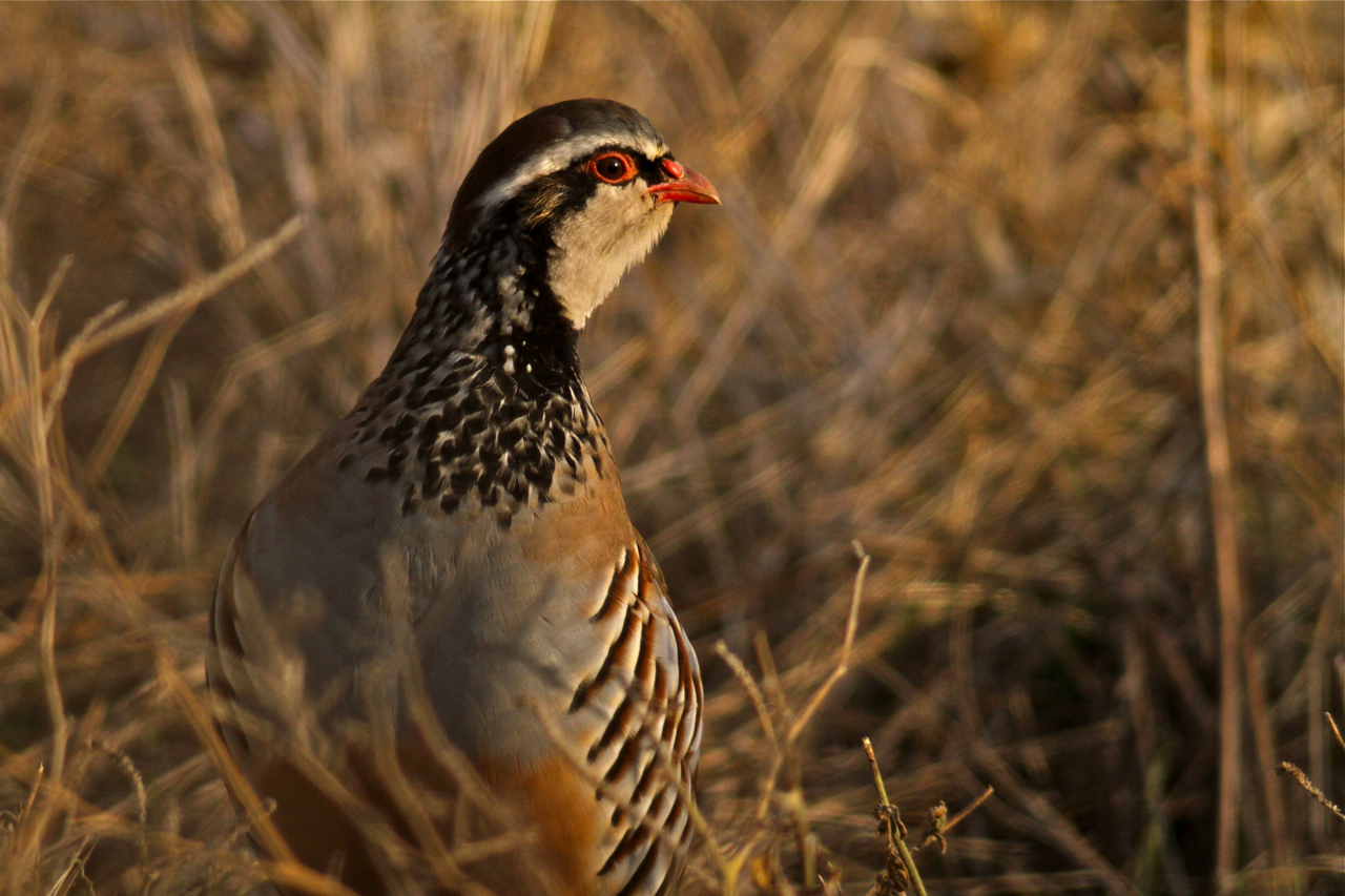 Red-legged Partridge Extremadura Spain Steppe Digiscoping