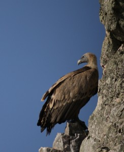 Griffon Vulture digiscoped on nesting cliff in Monfragüe National Park, Extremadura, Spain