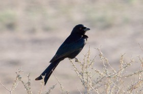 Fork-tailed Drongo by Chris Eason