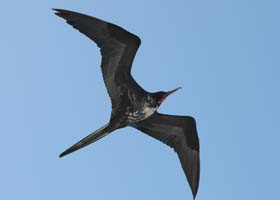 Immature male Galapagos Frigatebird, photo by Omar Naji and Bernadette Kolb