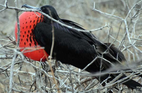 Male Galapagos Frigatebird