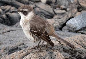 Galapagos Mockingbird, Fernandina
