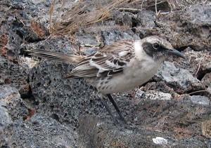 Galapagos Mockingbird, Genovesa
