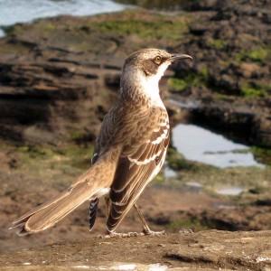 Galapagos Mockingbird, Santiago
