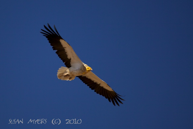 Egyptian Vulture. Susan Myers.