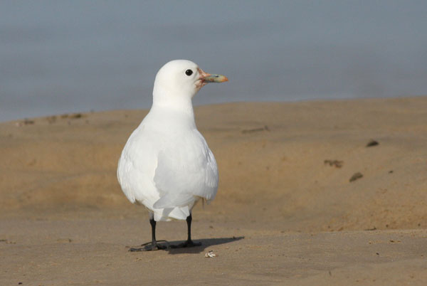 Ivory Gull. Mike Stensvold. Pismo Beach, CA. Nov 4, 2010