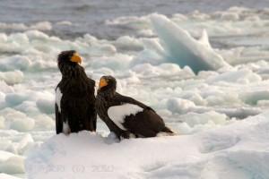 Steller's Sea Eagle @ Rausu, Japan