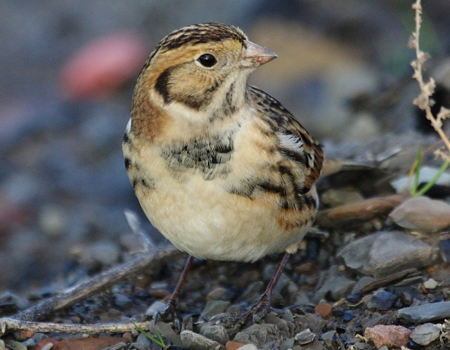 Post image for Hitchhiking Bunting