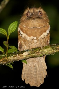Philippine Frogmouth @ Mount Kitanglad