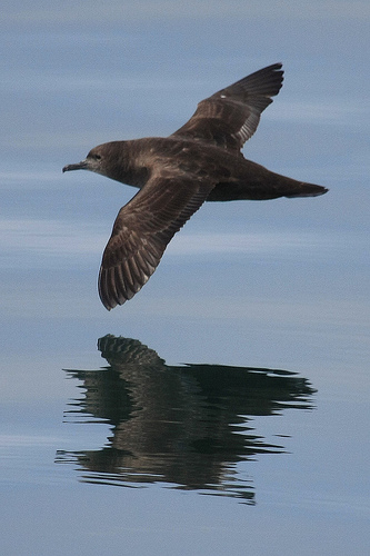 Post image for Satellite Tracking of Sooty Shearwaters