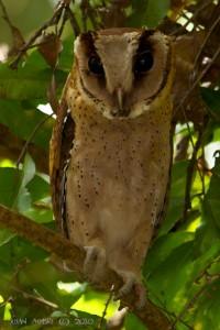 Oriental Bay Owl @ Sinharaja National Park, Sri Lanka