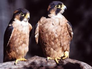 Taita Falcon. Photo Ron Hartly. http://www.iol.co.za/news/science/meet-sa-s-rarest-bird-1.722643?showComments=true