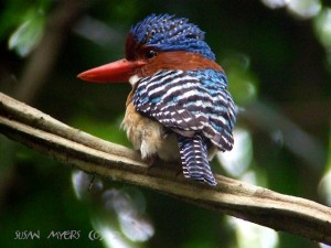 Banded Kingfisher (male) @ Cat Tien National Park, Vietnam