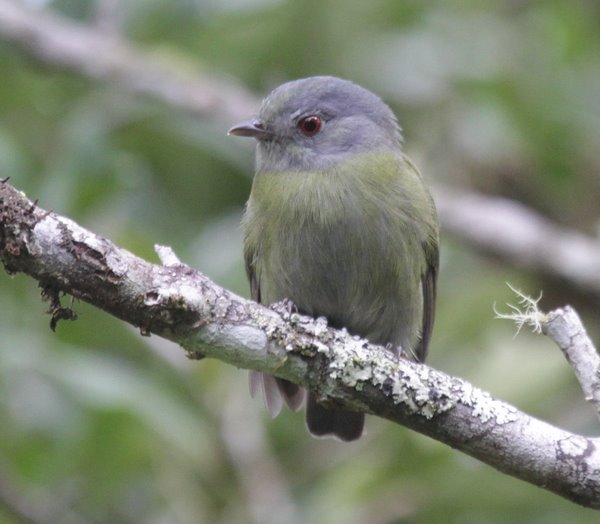 White-crowned Manakin. Dixiphia pipra female. Andean form.