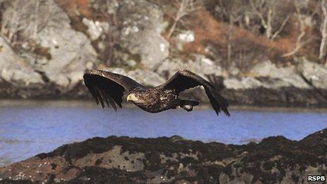 White-tailed Eagle. RSPB.