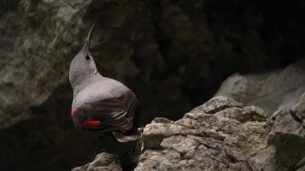Digiscoped female Wallcreeper at nest
