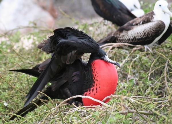 Galapagos Frigatebird Fregata magnificens new species. Jørgen Peter Kjeldsen