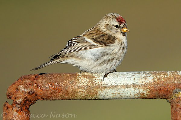 Mealy Redpoll Carduelis flammea at Shetland