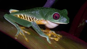 Agalychnis callidryas, Red-eyed Treefrog in Costa Rica by Rich Hoyer