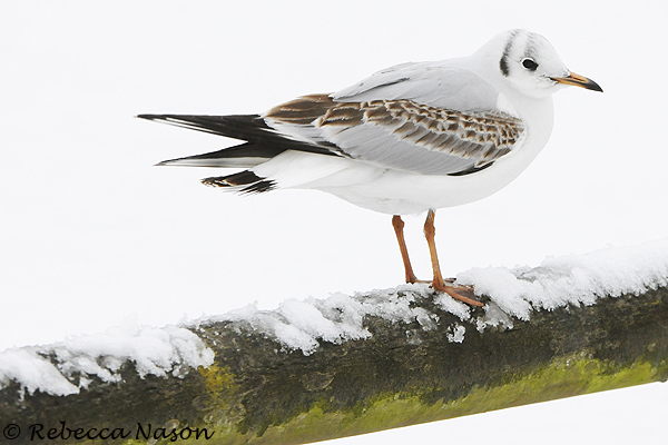 Black-headed Gull. Rebecca Nason
