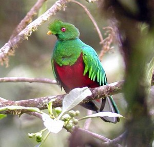 Crested Quetzal, Pharomachrus antisianus by Anthony Collerton in Bolivia
