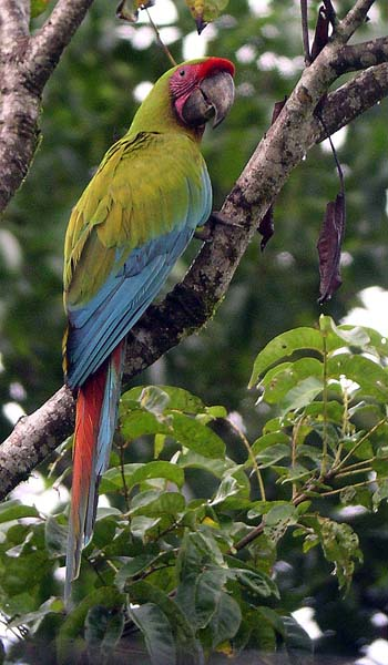 A Great Green Macaw at La Selva, Costa Rica