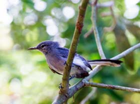 Thumbnail image for Iquitos Gnatcatcher Gets a Conservation Boost