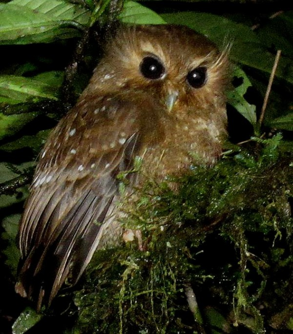 Long-whiskered Owlet. Xenoglaux loweryi. Photo: Rich Hoyer.